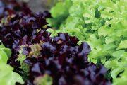 Mezi saláty najdete kromě klasického hlávkového i několik dalších druhů.