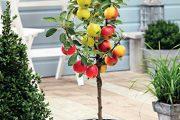 K příležitosti 70. výročí společnosti Bakker byly vytvořeny jedinečné rostliny. Jednou z nich je i jabloň Trio Apple
