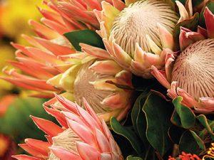 Právě proměnlivost byla hlavním důvodem, proč švédský botanik Carl von Linné jistou jihoafrickou rostlinu pojmenoval Protea.