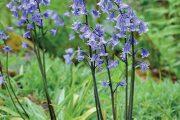 Za pozornost stojí třeba rostlina, která se nově označuje jako Hyacinthoides hispanica.