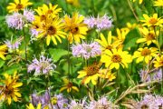 V prérijním záhonu se uplatňují suchovzdorné druhy rostlin.