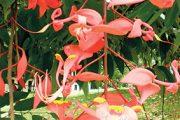 Květy stálezeleného okrasného stromu s názvem amherstie vznešená (Amherstia nobilis)