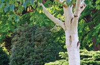 Bříza himálajská (Betula utilis var. jacquemontii) se vyznačuje krásně bílou a hladkou kůrou. Bývá právem považována za jednu z nejkrásnějších bříz vůbec.