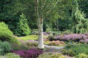 Břízy dobře vyniknou například ve vřesovišti. Nejde však o žádný vynález zahradních architektů. Břízy a vřesy patří k sobě i v přírodě, takže tvůrci zahrad tuto kombinaci už jen vylepšují použitím atraktivních odrůd.