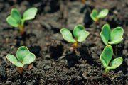 U moderních odrůd je výrazně potlačeno vybíhání do květu, kterým ředkvičky vysévané později na jaře dříve reagovaly na prodlužující se den.