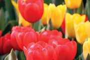 Na jaře si označte právě kvetoucí cibuloviny.