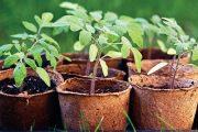 Úkolem zahrádkářů je sadbu nejen vypěstovat, ale také ji připravit na venkovní pěstování.