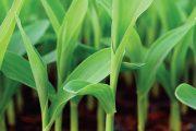 Začátkem května je půda už tak teplá, že můžete na zahrádku vysévat i nenáročnou cukrovou kukuřici.