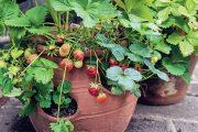 """V žádné anglické zahradě nikdy nechybějí jahody či něco jiného dobrého """"na zub""""."""