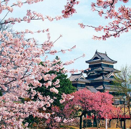 Sakura je v řeči botaniků třešeň pilovitá, tedy Prunus serrulata, a řadí se do čeledi růžovitých.
