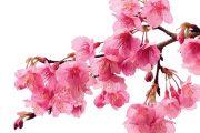 Pro Japonce představuje květ sakury symbol pomíjivosti lidského života.