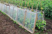 O fazolu je známo, že je to teplomilná zelenina, která se může vysévat až tehdy, když se dostatečně prohřeje nejen vzduch, ale i půda.