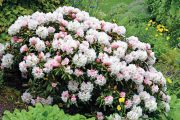 Rododendrony ze skupiny tzv. yakushimanum hybridů