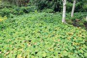 Škornice (Epimedium) je blízká příbuzná dřišťálů.