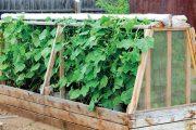 Plodová zelenina patří podle nároků vždy do první trati.