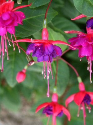 fuchsia_blossom