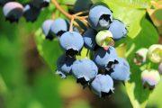 Modré ojíněné plody dozrávají v červenci a začátkem srpna.