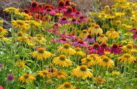 Krásné třapatkovky najdou uplatnění v každé květinové i přírodní zahradě.