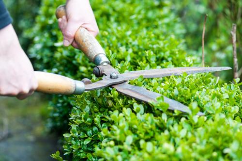 Dobrým pomocníkem na řez nízkých plotů jsou plotové nůžky, které jsou vhodné i na tvarování figur.