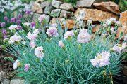 Kromě oblíbených hvozdíků bradatých (Dianthus barbatus), které je potřeba opětovně vysévat (jde o dvouletky), se na zahradě uplatní i další druhy.
