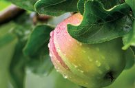 U meruněk a broskvoní je nutné zajistit, aby byla násada plodů úměrná možnostem stromku.
