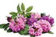 Po odkvětu můžete rododendronům postupně vylámat květy.