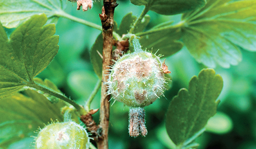 Třebaže se objevují nové, rezistentní odrůdy angreštu, stále u nás roste mnoho starších keřů, které jsou ohroženy americkým padlím.