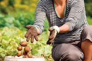 Na počátku léta se postupně sklízejí rané a polorané brambory.