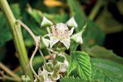 Odrůdy maliníků, které plodí až ve druhé polovině léta a na podzim, můžete po odkvětu ještě přihnojit.