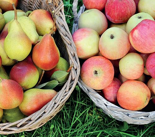 Letní jablka a hrušky se sklízejí ve srovnání s odrůdami určenými pro dlouhodobé skladování velice brzy – jejich vegetační doba je kratší až o tři měsíce.