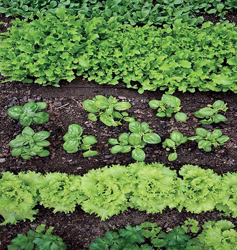 Záhony se zeleninou doslova překypují vitalitou a všechno roste, jak se na začínající léto sluší a patří.