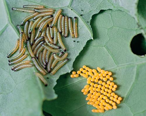 Housenky běláska zelného dokážou napáchat velké škody především v zeleninové monokultuře.