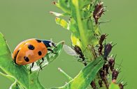 Přirození nepřátelé škůdců se k ochraně rostlin využívají především v přírodních zahradách.