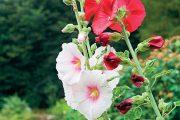 Každá zahrada potřebuje určitou rostlinnou dominantu.