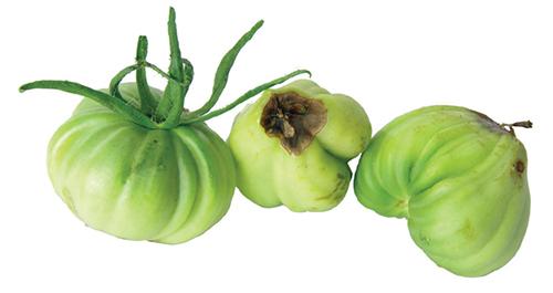 Mají-li plody hnědé propadlé špičky, které vypadají jako plíseň, nejde o chorobu, ale poruchu ve výživě.