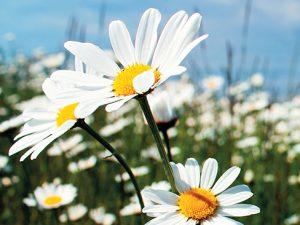 Není mnoho květin, které by byly v českých zahradách tak oblíbené jako nejrůznější druhy kopretin.