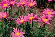 Kopretina červená (Tanacetum coccineum, také Chrysanthemum coccineum) pochází z hornatého Kavkazu.