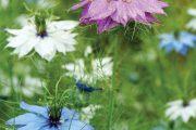 Vybírejte hojně kvetoucí a zajímavé letničky, jako je třeba černucha damascénská s výraznými semeníky.