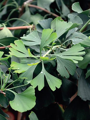 Neobvyklé listy jinanu (Ginkgo biloba) přitahují mnoho pěstitelů, z nichž mnozí tento mystický strom pěstují i na zahradě.
