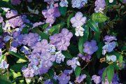 Brunfelsia grandiflora,