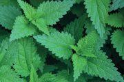 Kopřivu (Urtica dioica) vnímáme nejčastěji jako úporný plevel.