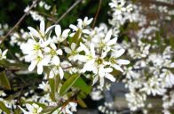 Muchovníky si nás získají krásnými květy na jaře.