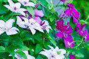 Mezi hybridními plaménky objevíte skvosty s jednoduchými květy i plnokvěté formy.