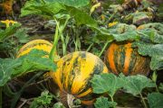V září se věnujeme zpracování sklizně.