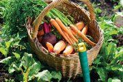 Labužníci svůj jídelníček zakládají na čerstvé sezonní zelenině, kterou sklízejí podle aktuální potřeby.