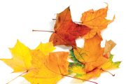 Javory tvoří nezbytnou součást i našich listnatých lesů.
