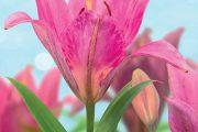 Dříve se téměř výhradně pěstovaly lilie bílé, které jako symbol nevinnosti rostly ve farních i venkovských zahradách.