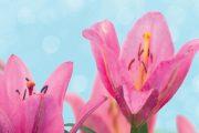 V polovině prázdnin začínají naplno rozkvétat i druhy vysokých cibulovin, jako jsou mečíky či lilie.