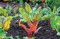 V plném létě nastává čas na malé přihnojení zeleniny.