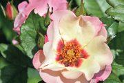 Od minulého roku se mohou milovníci růží těšit z další novinky, která obohacuje už tak neuvěřitelně pestrý svět těchto rostlin.